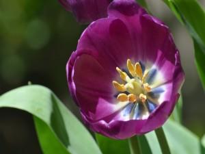Tulipán abierto
