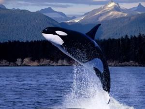 Postal: Gran salto de la orca