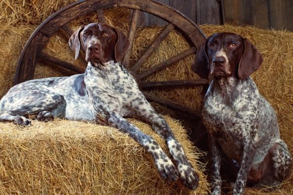 Perros en el granero