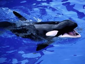 Pequeña orca con la boca abierta