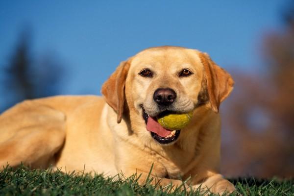 Perro con la pelota de tenis