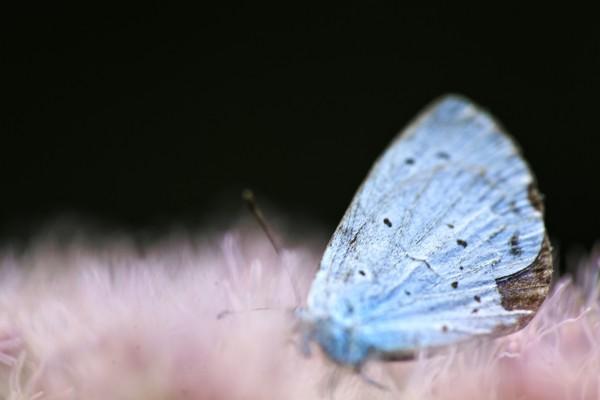 Mariposa azulada
