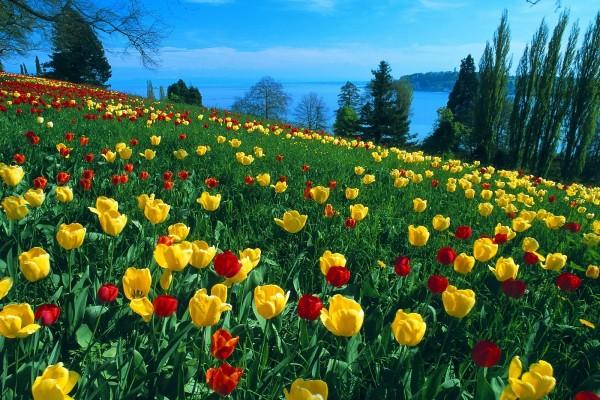 Precioso campo de tulipanes rojos y amarillos