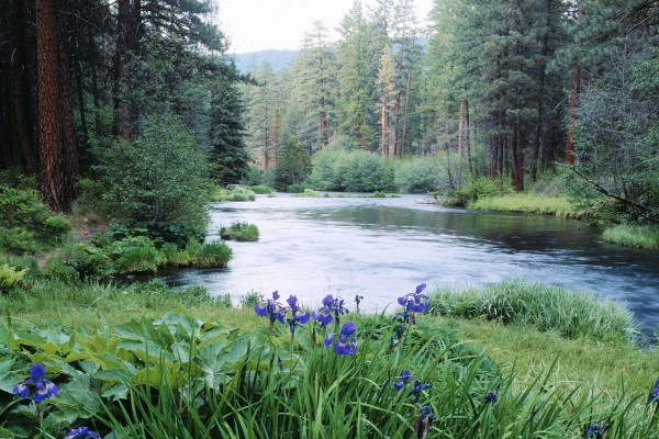 Iris junto al río