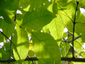 Postal: Hojas verdes en las ramas