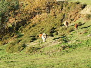 Postal: Vacas asturianas