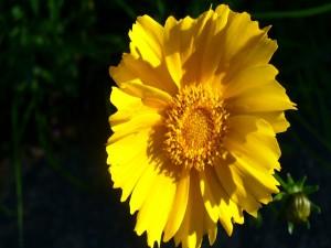 Postal: Flor con grandes pétalos amarillos