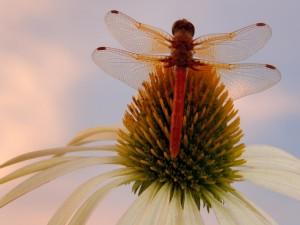 Postal: Libélula posada en una flor