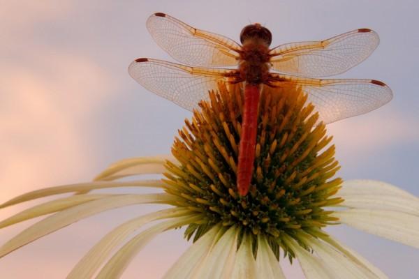 Libélula posada en una flor