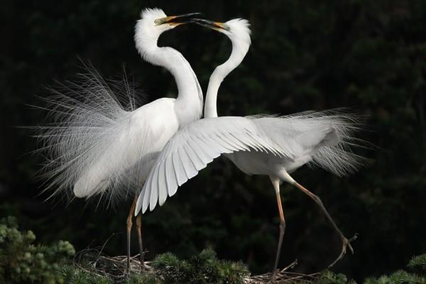 Pájaros de plumas blancas unidos por el pico
