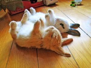 Dos conejos durmiendo con las patas para arriba