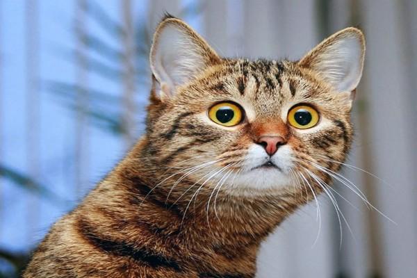 Un gato mirando con mucha atención