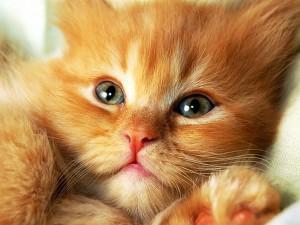 Hermoso gatito marrón con grandes ojos verdes