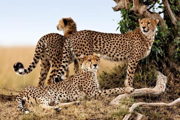 Guepardos en la sabana africana