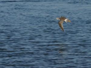 Ave de pico largo volando sobre el agua