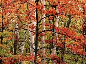 Postal: Un árbol fino con las hojas rojas