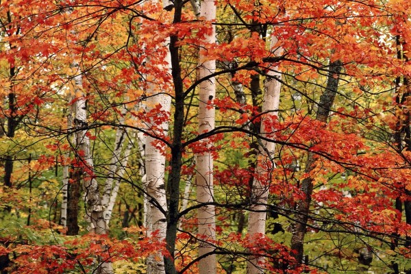 Un árbol fino con las hojas rojas