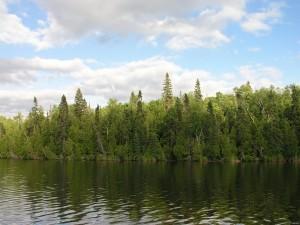 Pinos verdes cerca del agua