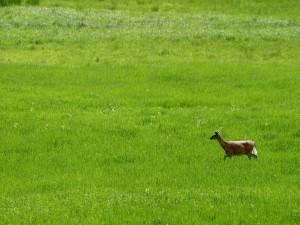 Cervatillo en la hierba verde