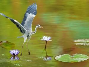 Garza volando sobre el lago
