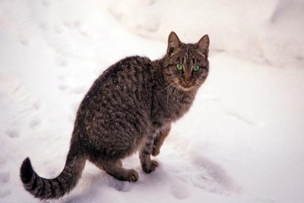 Gato atigrado con ojos verdes sobre la nieve