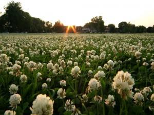 Campo de flores blancas al amanecer