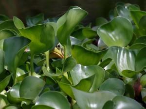 Rana escondida entre hojas verdes