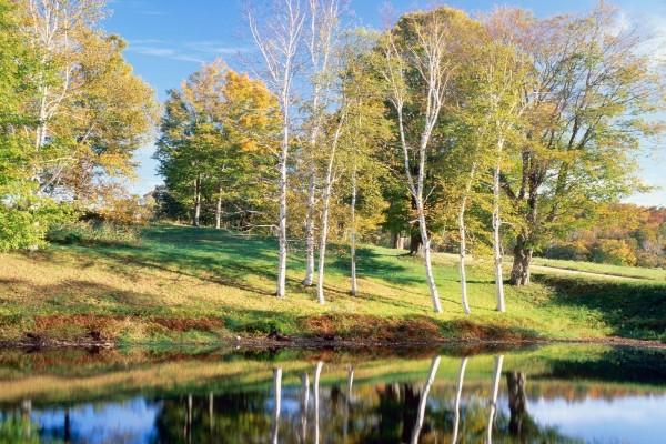 Abedules junto al lago