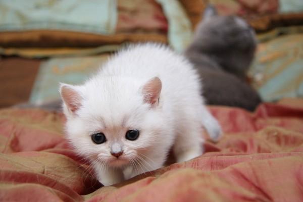Gatito blanco de ojos negros
