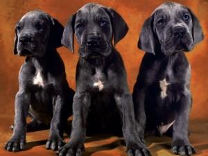 Postal: Cachorros grises