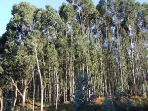 Postal: Árboles de eucalipto en la costa asturiana