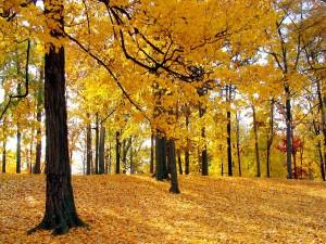 Postal: Hojas otoñales en el suelo y en los árboles