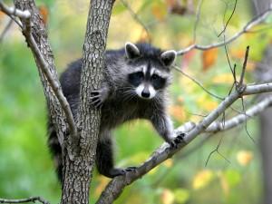 Un mapache mirando atento