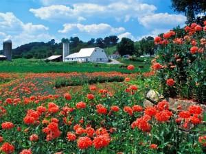 Flores rojas en la granja