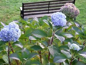 Flores de hortensias en el jardín