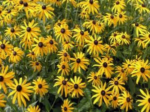 Flores amarillas con el centro negro