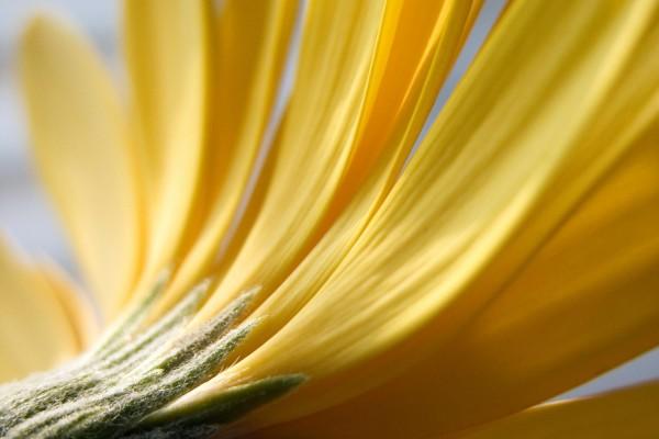 Pétalos amarillos