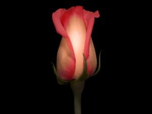 Rosa en fondo negro