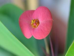 Postal: Delicada flor rosa