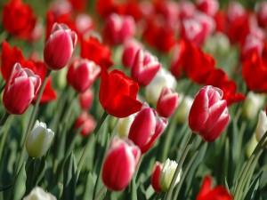Postal: Preciosos tulipanes blancos y rojos