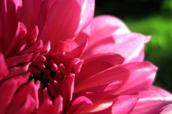 Dalia de pétalos rosas