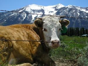 Vaca detrás del alambre