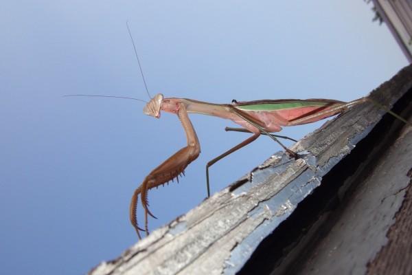 Una mantis religiosa