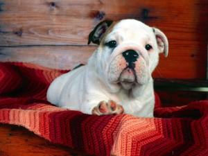 Perro sobre una bonita manta