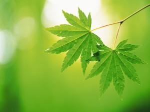 Dos hojas verdes en la rama