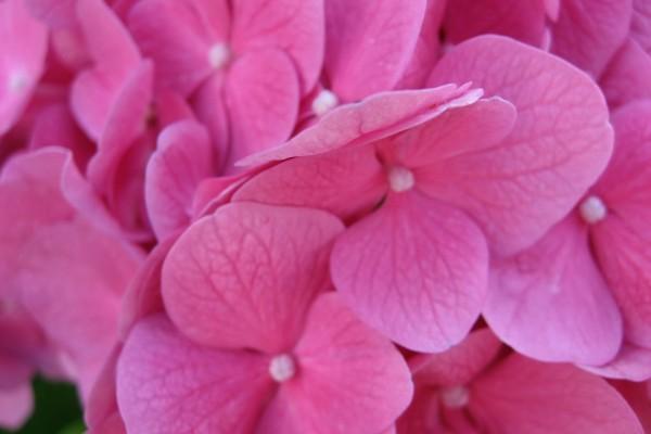 Pequeñas flores de la hortensia