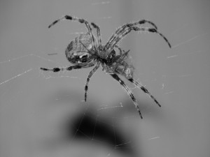Araña en blanco y negro