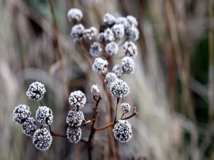 Flores heladas en la rama