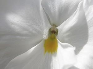 Pétalos blancos de una flor