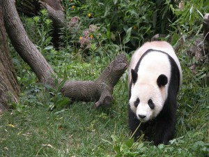 Un bonito panda